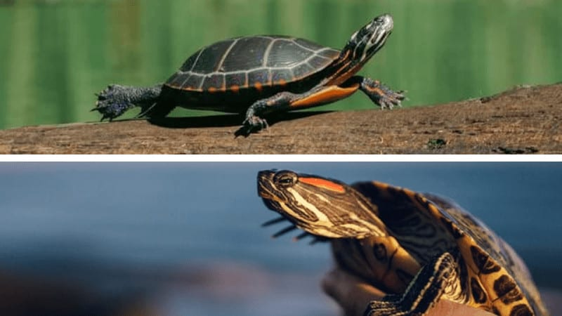 Painted Turtle VS Red-eared Slider